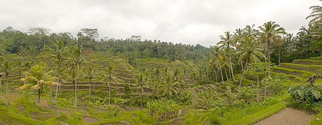 Rice paddies around Ubud, Indonesia